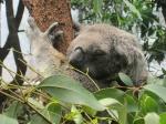 The Letter K: Koala